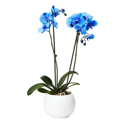 Brudeorkidé 'Royal Blue'