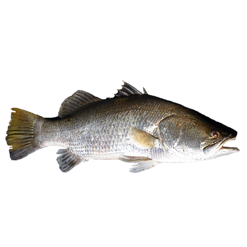 Sea Farmed Barramundi/Sea Bass