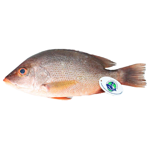 Sea Farmed Lion-Head Red Snapper