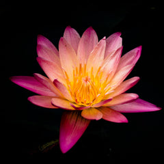 All Secrets Behind Meaning Of The Lotus Flower Aromantly