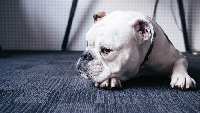 Common Dog Health Issues and how to avoid them
