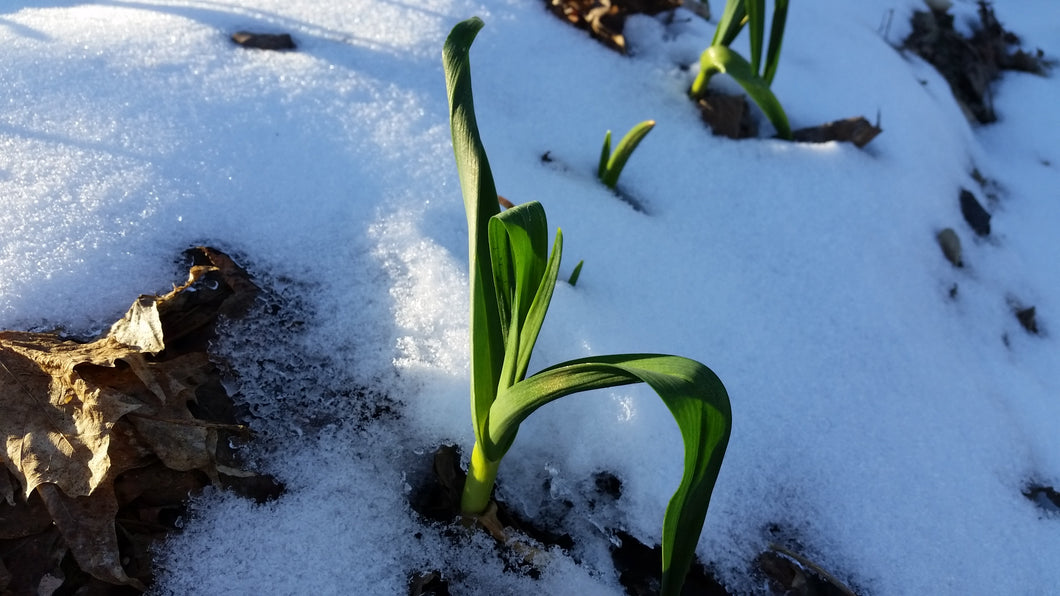 Tough garlic plants growing through leaves and snow