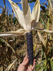 A Hopi Blue corn ear, showing the multiple shade of blue subtype found within the landrace. Typical 12-row, 10 inch specimen
