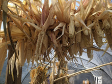 Tuscarora White corn ears hanging on a pole, drying in a greenhouse