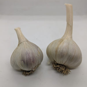 "Pavonis garlic bulbs- a True Seed Origin garlic that is the result of a Krasnodar White ""mother"" and a possible Marbled ""father"""