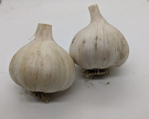 Carpathian heirloom garlic. A Rocambole type from the Carpathian Mountains in Eastern Europe