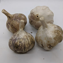 Uzbek garlic bulbs, a Turban variety