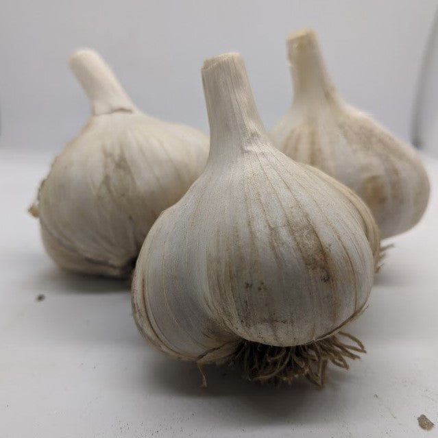 Jaxartes garlic bulbs- a variety collected from the wild in Tajikistan