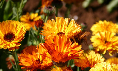 Flower Power: Healing With Calendula