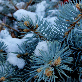 Blue Spruce Fragrance