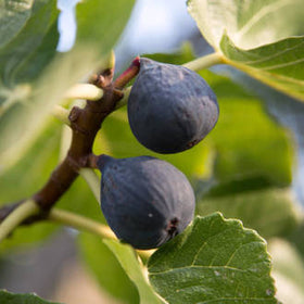 Fig Tree Fragrance