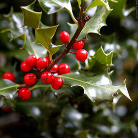 Holly Berry Fragrance
