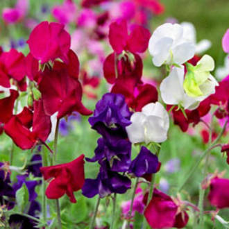 Sweetpea Fragrance
