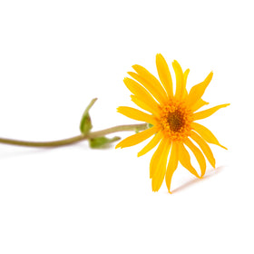 Arnica Infused Oil - Organic