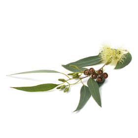 Lemon Scented Eucalyptus Essential Oil