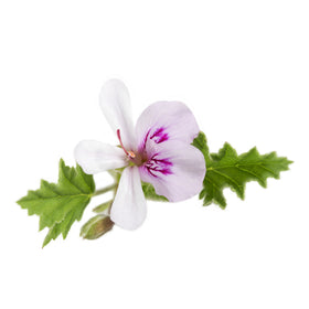 Geranium, Egyptian - Organic Essential Oil