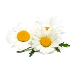 Chamomile, German Essential Oil 3% in Jojoba