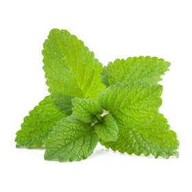 Lemon Balm - Cosmetic Grade Oil