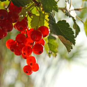Red Currant Fragrance