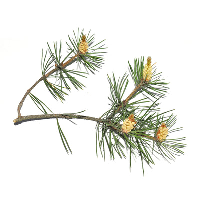 Pinus Sylvestris Essential Oil