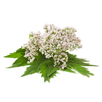 Valerian - European Essential Oil
