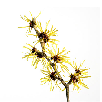 Witch Hazel Extract - Organic