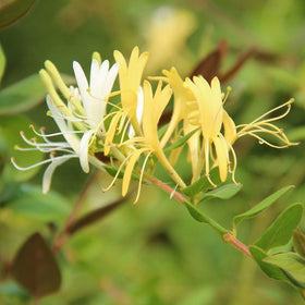 Honeysuckle Jasmine Fragrance