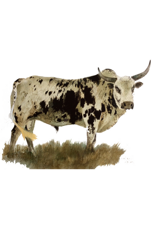 David Wheildon - Nguni Cattle