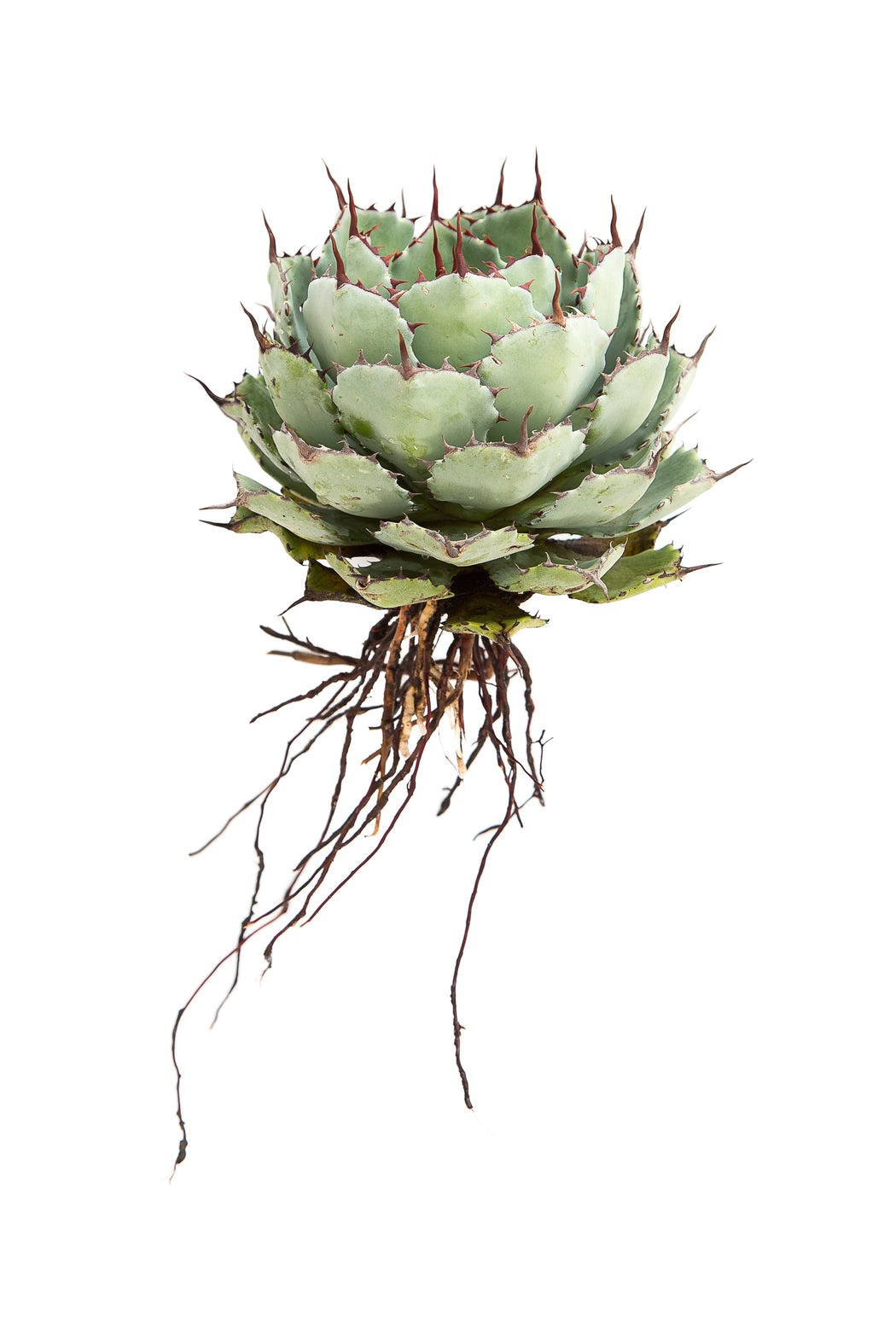 Agave Potatorum I