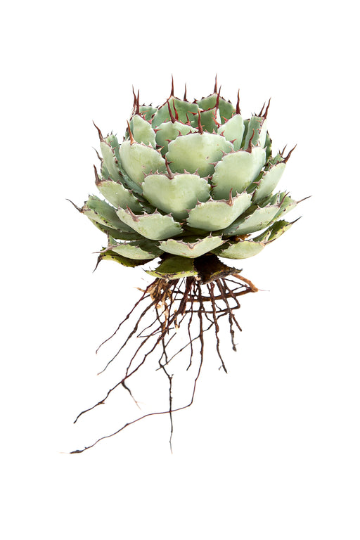 Agave Potatorum II