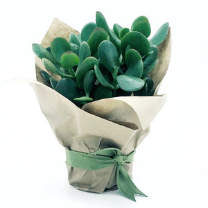 Jade Plant - For Gift Totes or Wooden Boxes ONLY (not kraft boxes)