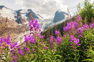 Fireweed And The Spires, Bugaboo Provincial Park In Fall - Art Print