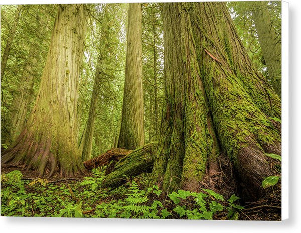 Giant Trees In Old Growth Forest, Nelson, British Columbia  - Canvas Print
