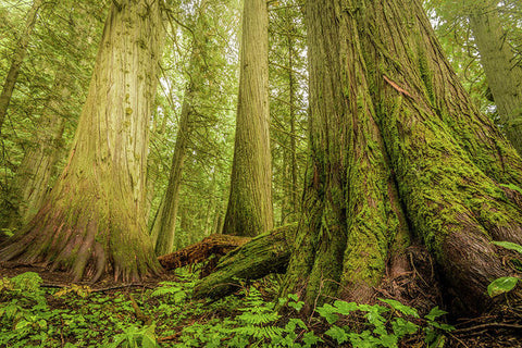 Giant Trees In Old Growth Forest, Nelson, British Columbia  - Art Print