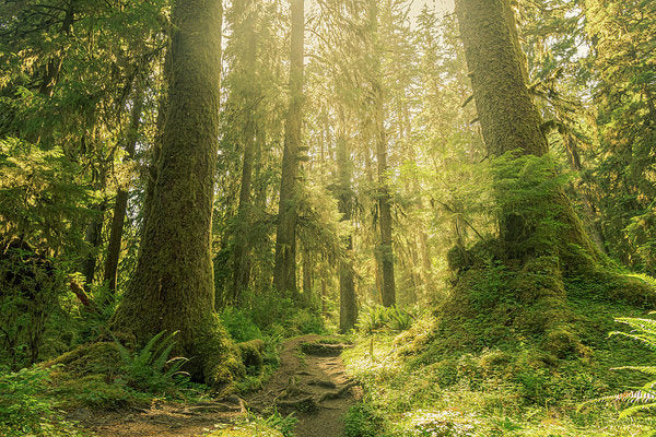 Hoh Rainforest, Olympic National Park, Washinton - Art Print