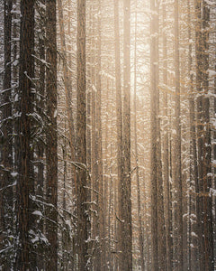 Sun In A Winter Forest - Art Print