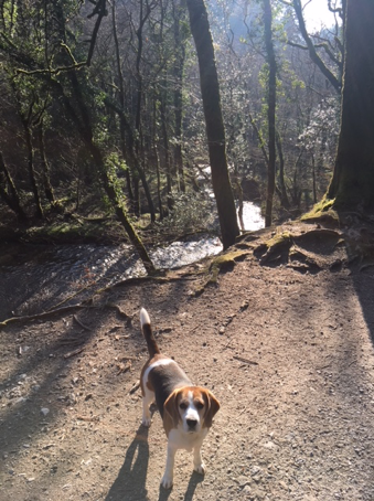 Beagle in woods on dog walk