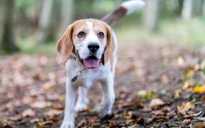 Rocky Beagle panting walking in woods
