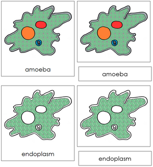 Amoeba Nomenclature 3-Part Cards - Montessori Print Shop