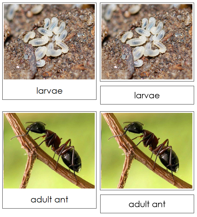 Ant Life Cycle Nomenclature Cards & Charts -Montessori Print Shop