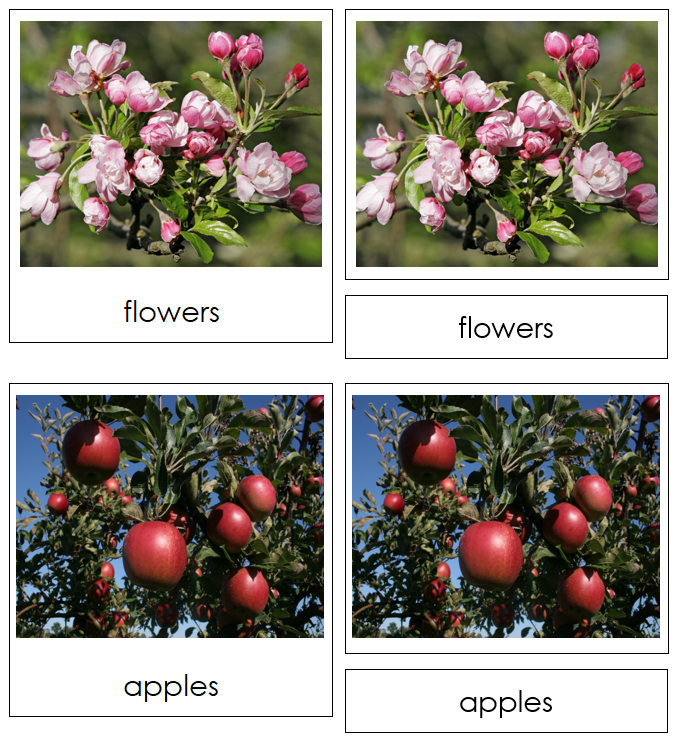 Apple Life Cycle Nomenclature Cards & Charts - Montessori