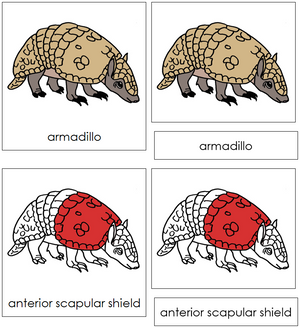 Armadillo Nomenclature Cards (red) - Montessori Print Shop