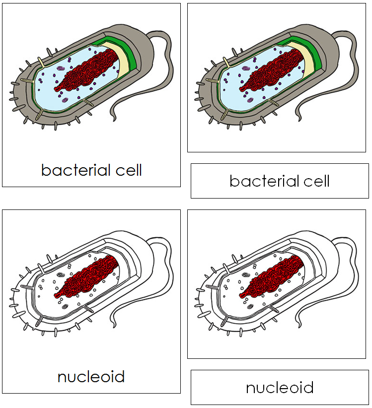 Bacterial Cell Nomenclature Cards - Montessori Print Shop