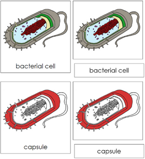 Bacterial Cell Nomenclature 3-Part Cards (red) - Montessori Print Shop