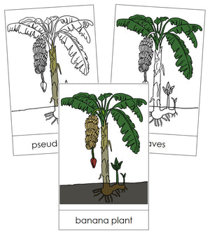 Banana Plant Nomenclature Cards - Montessori Print Shop