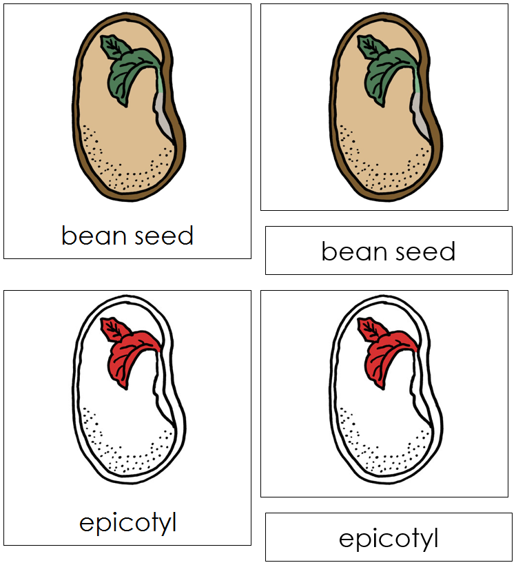 Bean Seed Nomenclature Cards (red) - Montessori Print Shop