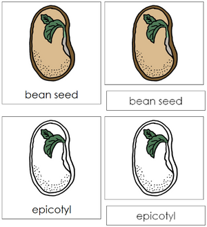 Bean Seed Nomenclature Cards - Montessori