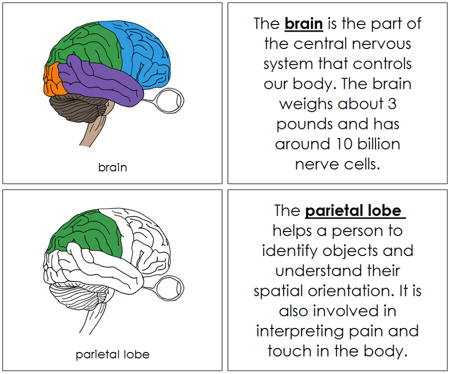 Brain Nomenclature Book - Montessori Print Shop