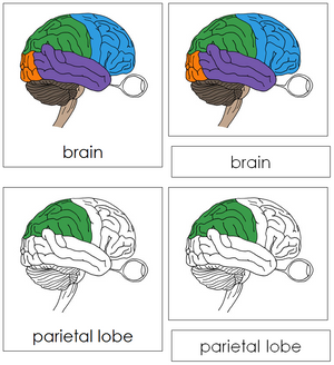 Brain Nomenclature 3-Part Cards - Montessori Print Shop