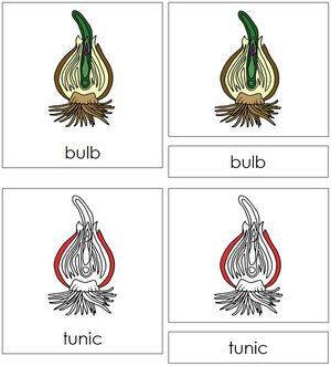 Bulb Nomenclature 3-Part Cards (red) - Montessori Print Shop